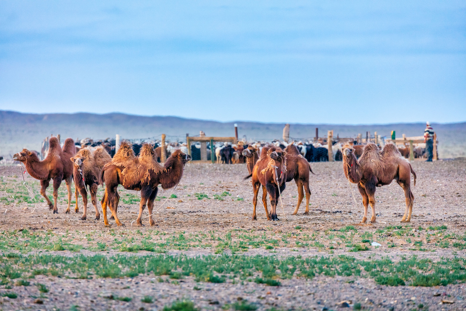 Bactrain Camels - a shot from Jeff's Mongolia documentary